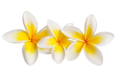 Plumeria (with Path) Stock Photos