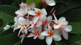 Plumeria. Pink and White Plumeria Flower in the green leaf Stock Images