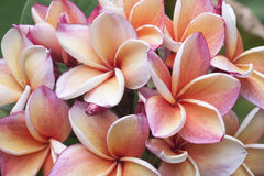Frangipani flowers. Plumeria pink and yellow on cream color Stock Image