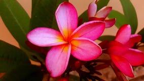 Plumeria plantas coloridas Imagens de Stock