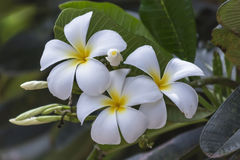 Plumeria. /pluːˈmɛriə/ is a genus of flowering plants in the dogbane family, Apocynaceae.[1] Most species are deciduous shrubs or small trees. The species Royalty Free Stock Images