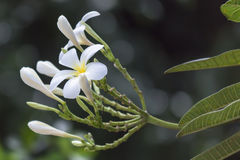 Plumeria. /pluːˈmɛriə/ is a genus of flowering plants in the dogbane family, Apocynaceae.[1] Most species are deciduous shrubs or small trees. The species Stock Images