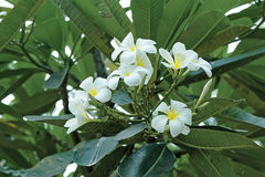 Plumeria. /pluːˈmɛriə/ is a genus of flowering plants in the dogbane family, Apocynaceae.[1] Most species are deciduous shrubs or small trees. The species Stock Photography