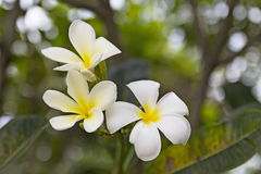 Plumeria. /pluːˈmɛriə/ is a genus of flowering plants in the dogbane family, Apocynaceae.[1] Most species are deciduous shrubs or small trees. The species Stock Photos