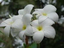 Plumeria. The flower of South East Asia stock photos