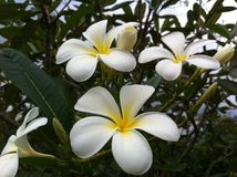Plumeria. The plumerias in the garden. Nice decorate flowers Royalty Free Stock Images