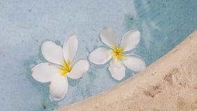 Plumeria stock image