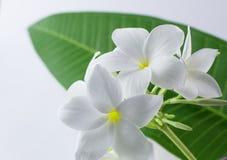 Plumeria,  pretty aroma, aromatherapy, beautiful, beauty Royalty Free Stock Photo