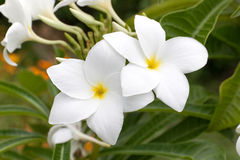 Plumeria Pudica Στοκ Εικόνα