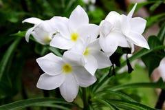 Plumeria Pudica Στοκ φωτογραφίες με δικαίωμα ελεύθερης χρήσης