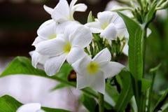 Plumeria Pudica Στοκ Φωτογραφίες