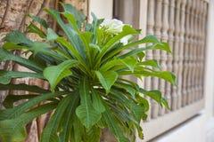 Plumeria pudica en Getsemaní. In Cartagena de Indias Royalty Free Stock Photography