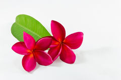 Plumeria purple Royalty Free Stock Image