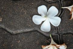 Plumeria que baja en el piso del cemento Foto de archivo libre de regalías