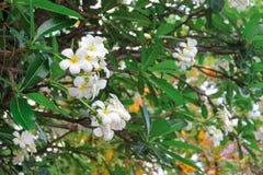 Plumeria que florece en árbol Fotografía de archivo