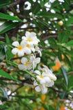 Plumeria que florece en árbol Fotos de archivo