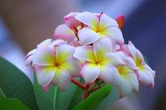 Plumeria różowy kwiatostan. Zdjęcie Stock