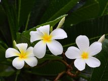 Plumeria after the rain. Stock Photography