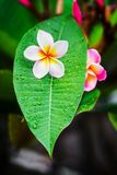 Plumeria with raindrop after rain royalty free stock images