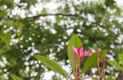 Plumeria rojo Fotos de archivo