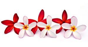 Plumeria rojo y blanco Fotos de archivo