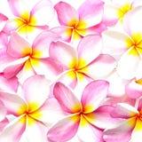 Plumeria rosa Fotografie Stock