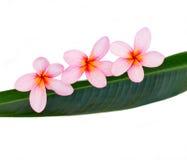 Plumeria rosado Foto de archivo libre de regalías