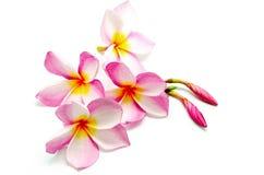 Plumeria rosado Fotografía de archivo
