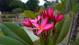 Plumeria rosado en jardín Imagen de archivo