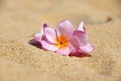Plumeria rosado en la arena imagen de archivo libre de regalías