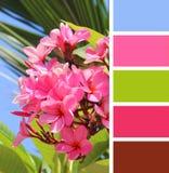 Plumeria rosado floreciente muestras de la paleta de colores fotos de archivo