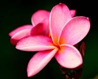 Plumeria rosado (Frangipani) Fotografía de archivo libre de regalías