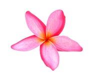Plumeria rosado hermoso del Frangipani en el backgorund blanco tropical imagen de archivo