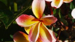 Plumeria rose clips vidéos