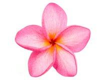 Plumeria rose de Frangipani Images libres de droits