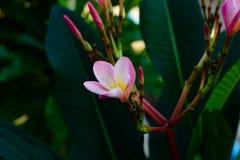 Plumeria rose et jaune Photos libres de droits