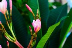 Plumeria rose et jaune Image libre de droits