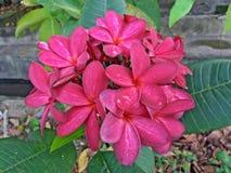 Plumeria rose Rubra Photographie stock