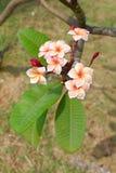Plumeria rose sur l'arbre avec le foyer sélectif Photo libre de droits