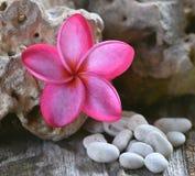 Plumeria rose sur le fond de pierres Photographie stock