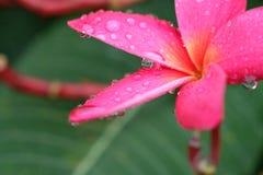 Plumeria rossa con una certa goccia di acqua dopo la pioggia Fotografia Stock