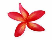 Plumeria rosso Fotografia Stock