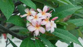 Plumeria roze bloem stock footage