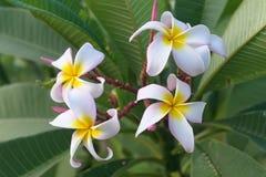 Plumeria rubra Stock Photos