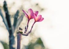 Plumeria rubra - Akcyjny wizerunek Zdjęcie Royalty Free