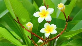 Plumeria rubra blühende Blumen gemeinen Frangipani stock video