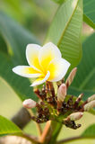 Plumeria rubra blossom Royalty Free Stock Photo
