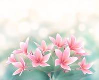 Plumeria rubra Blume auf bokeh Hintergrund Lizenzfreie Stockfotos
