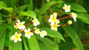Plumeria rubra common frangipani blooming flowers. Plumeria rubra or common frangipani flowering tree with white and yellow blooming flowers and vibrant green stock footage