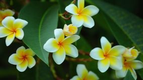 Plumeria rubra common frangipani blooming flowers. Plumeria rubra or common frangipani flowering tree with white and yellow blooming flowers and vibrant green stock video